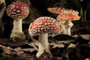 ikukids-time-lapse-amanite-tue-mouches-champignons-Neil-Bromhall