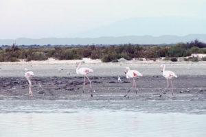 ikukids-flamant-rose-camargue-france-oiseau-littoral-salines