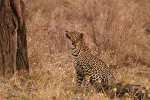 ikukids-leopard-chasse-afrique-nikita-nat-geo-wild-sauvage-animal-chouette