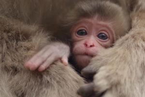 ikukids-macaque-bebe-japonais-naissance-petit-singe-education-nat-geo