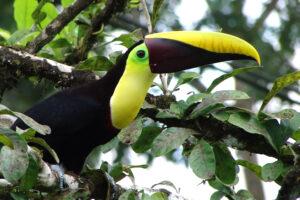 ikukids-chant-toucan-oiseau-exotique-bec-couleur