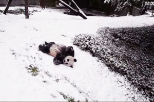 ikukids-panda-glissade-neige-hiver-drole