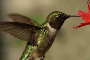 ikukids-colibri-oiseeau-mouche-4K-film