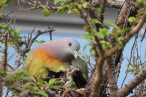 ikukids-pigeon-vert-a-col-rose-nid-petit-nourrir