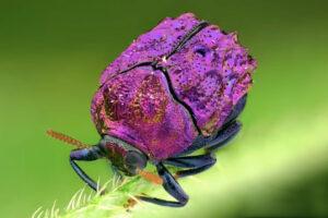 ikukids-scarabee-colore-foret-amazonienne-equateur-zoom-marco-violet-fushia
