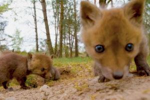 ikukids-camera-terrier-renard-renards-renardeau-bebe-petit
