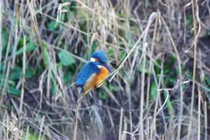 ikukids-martin-pecheur-chasse-equilibre-oiseau