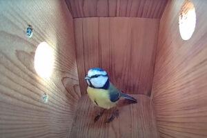 ikukids-une-mesange-bleue-construit-son-nid-oiseau-oiseaux-perchoir